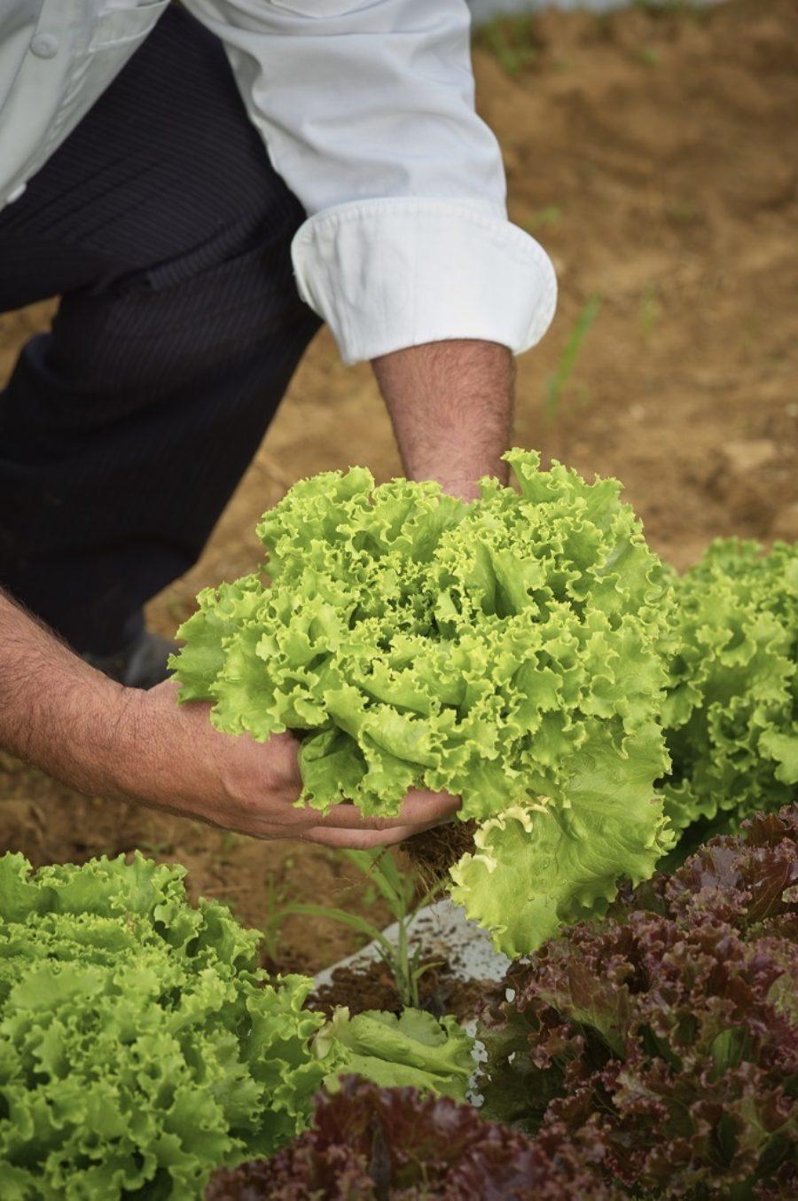 Homegrown Lettuce